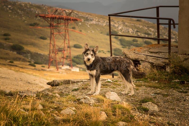 Ritratto di un cane da pastore in un paesaggio carpatico immagini stock