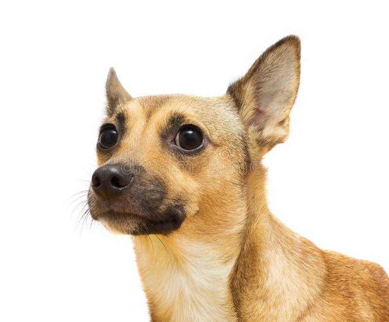 Ritratto di un cane divertente fotografia stock libera da diritti