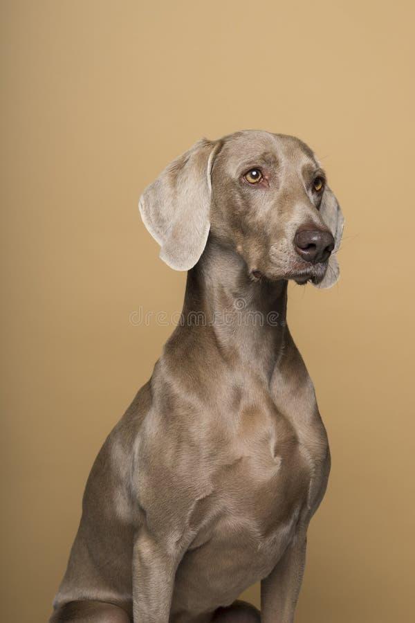 Ritratto di un cane femminile di Weimaraner su un fondo beige immagine stock