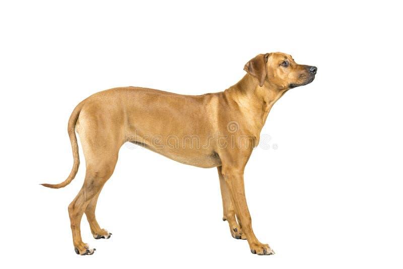 Ritratto di un cane di Rhodesian Ridgeback isolato su un colpo bianco dello studio del fondo che sta lateralmente fotografia stock libera da diritti