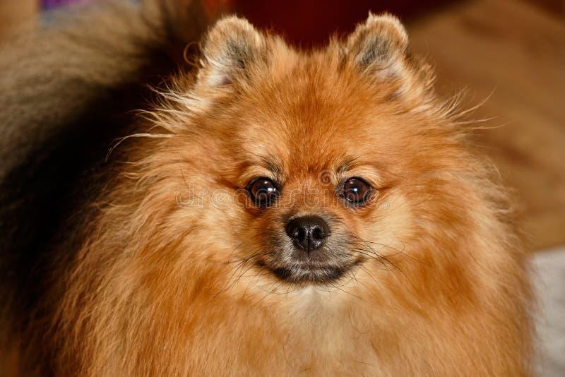Ritratto di un cane - spitz adulto di razza tedesco immagini stock