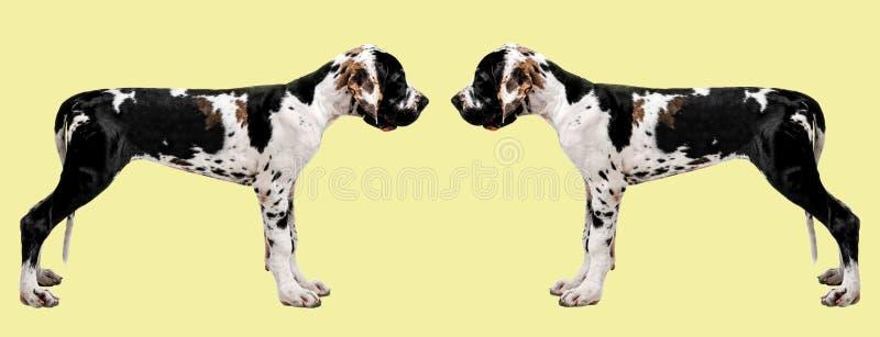 Ritratto di un cane su un fondo colorato Ritratto divertente di un cane Uno sguardo di due cani ad a vicenda immagini stock