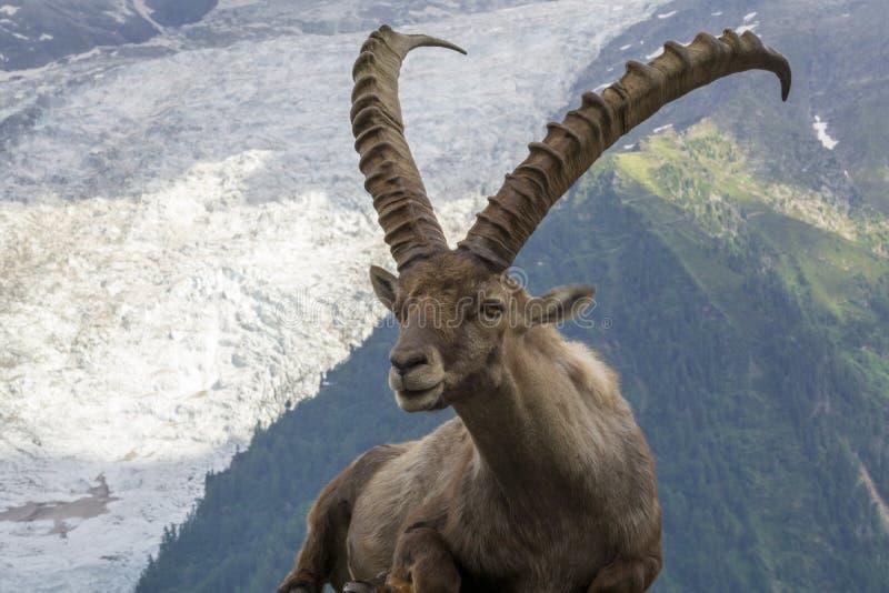 Ritratto di un capra ibex alpino dello stambecco fotografie stock libere da diritti