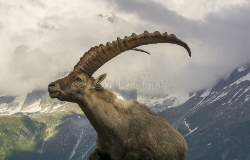 Ritratto di un capra ibex alpino dello stambecco fotografia stock libera da diritti