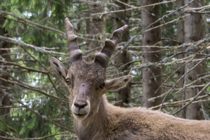 Ritratto di un capra ibex alpino dello stambecco immagine stock