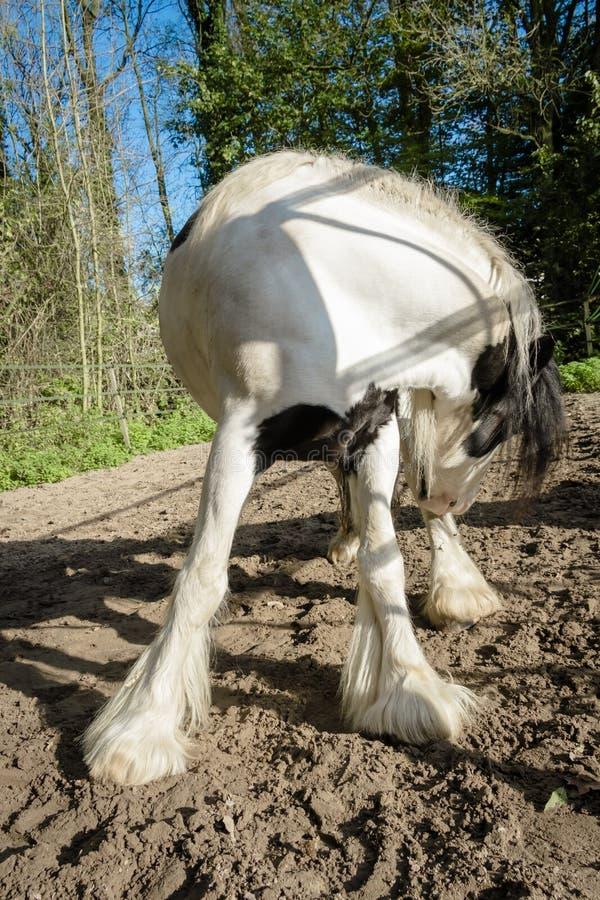 Ritratto di un cavallo in bianco e nero con un giro della testa contro il fondo della foresta della molla fotografia stock libera da diritti