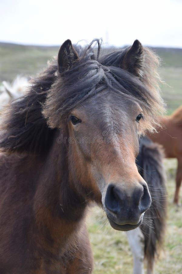 Ritratto di un cavallo islandese baia fotografia stock libera da diritti