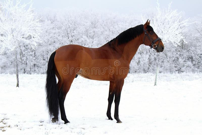 Ritratto di un cavallo quarto americano immagini stock