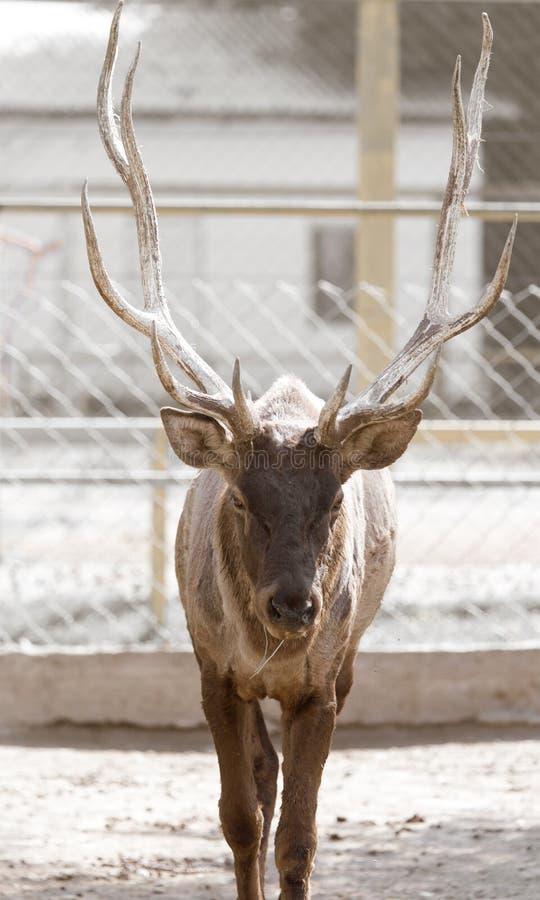 Ritratto di un cervo in natura fotografia stock
