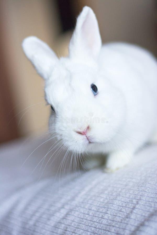 Ritratto di un coniglio bianco con gli occhi azzurri fotografie stock libere da diritti
