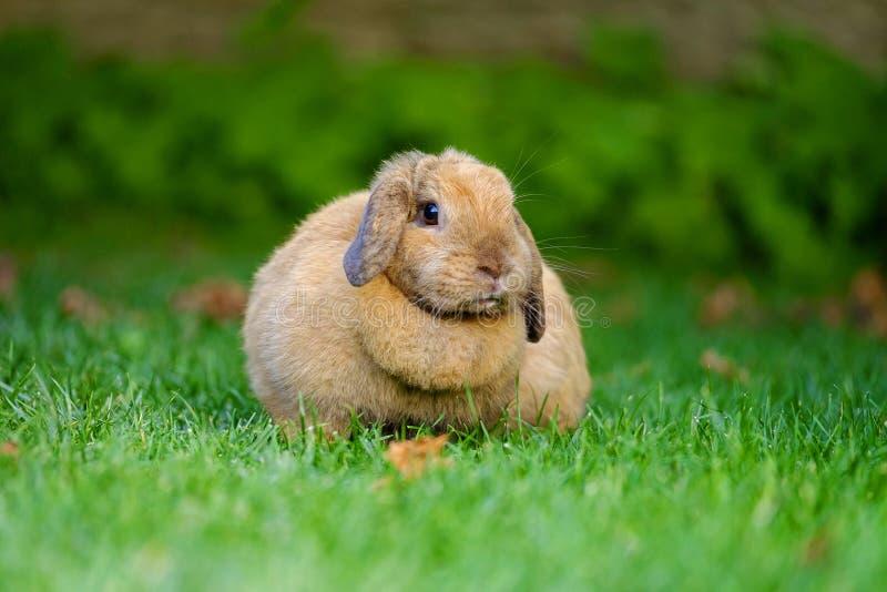 Ritratto di un coniglio che cammina sull'erba 5 fotografia stock