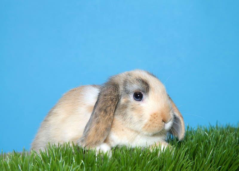 Ritratto di un coniglio di coniglietto eared di potare in erba fotografia stock