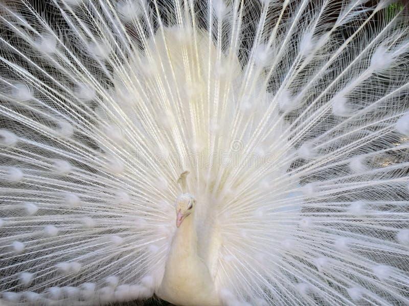 Ritratto di un cristatus bianco del pavone del pavone con le piume in espansione fotografia stock