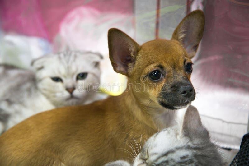 Ritratto di un cucciolo della chihuahua con una razza scozzese del gatto dell'altopiano Fuoco selettivo fotografia stock libera da diritti
