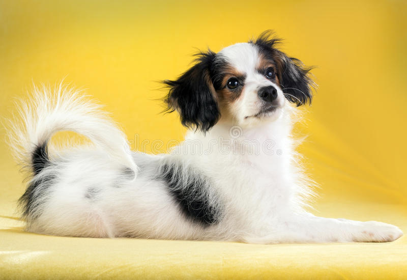 Ritratto di un cucciolo di Phalene fotografie stock libere da diritti