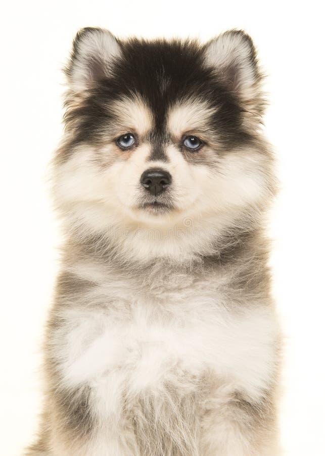 Ritratto di un cucciolo pomeranian con gli occhi azzurri su un backgro bianco fotografie stock