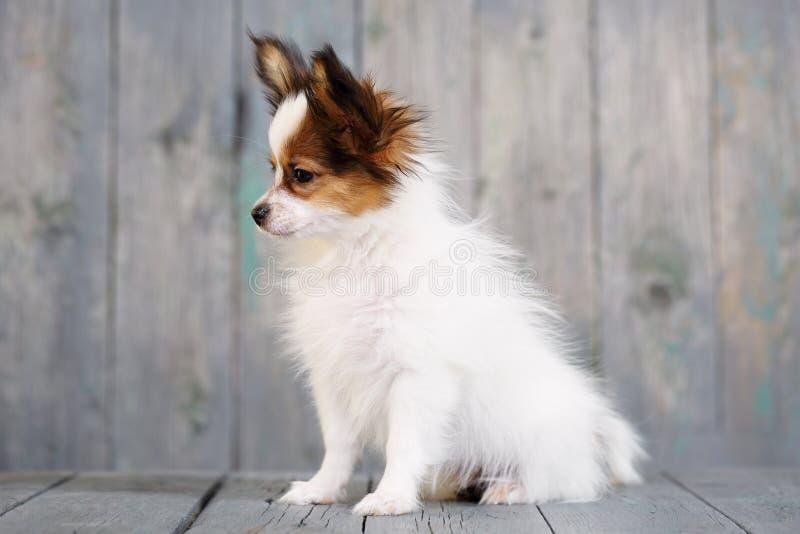 Ritratto di un cucciolo sveglio Papillon immagine stock