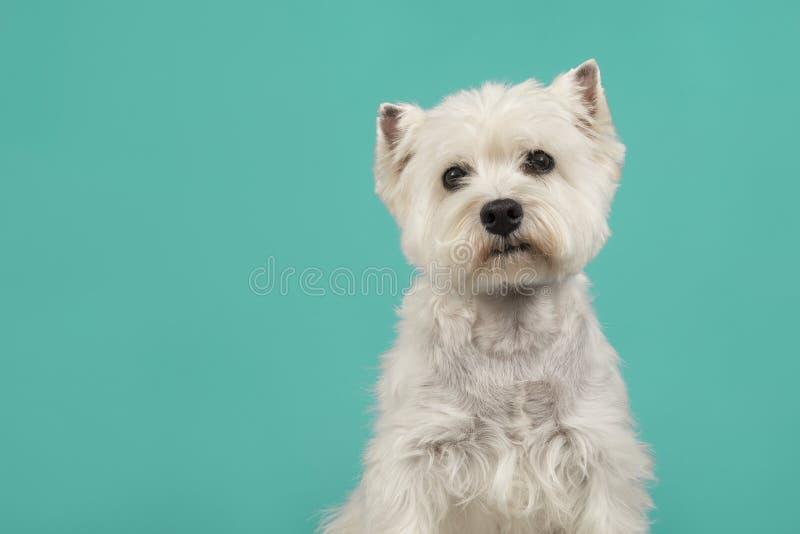 Ritratto di un dare un'occhiata del cane del terrier bianco o del westie di altopiano ad ovest fotografia stock libera da diritti