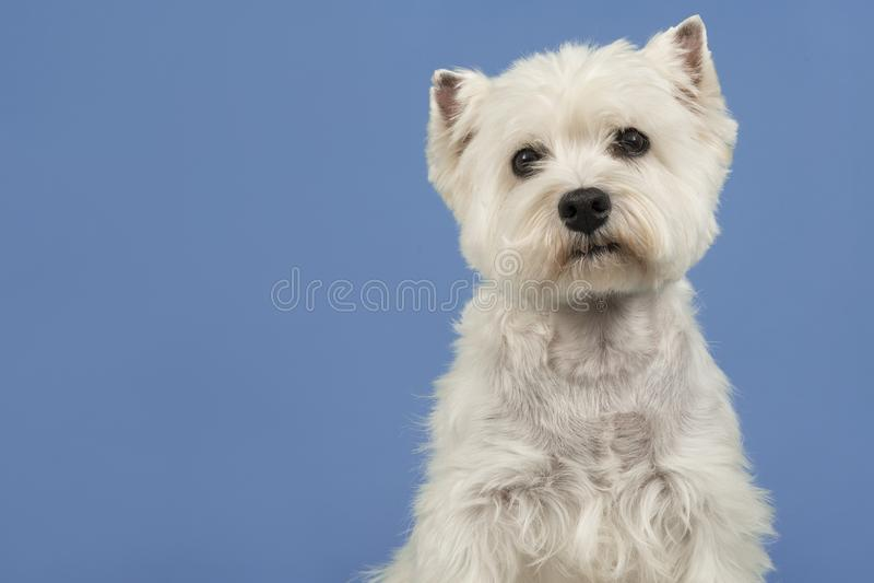 Ritratto di un dare un'occhiata del cane del terrier bianco o del westie di altopiano ad ovest fotografie stock libere da diritti