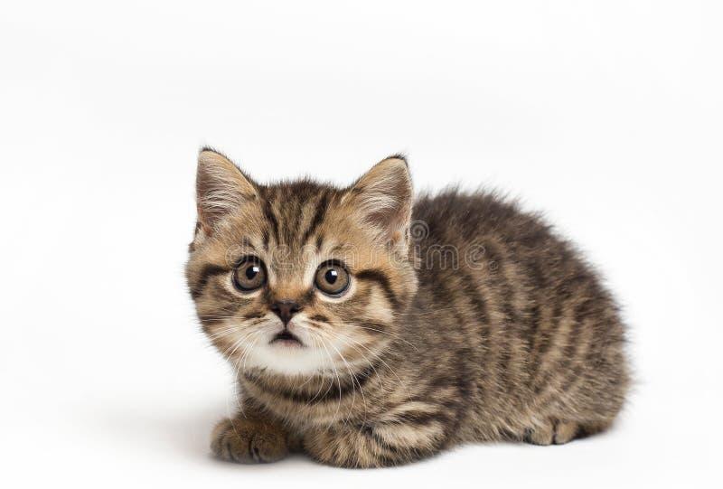 Ritratto di un diritto scozzese sorpreso del gatto, primo piano, isolato su fondo bianco fotografia stock