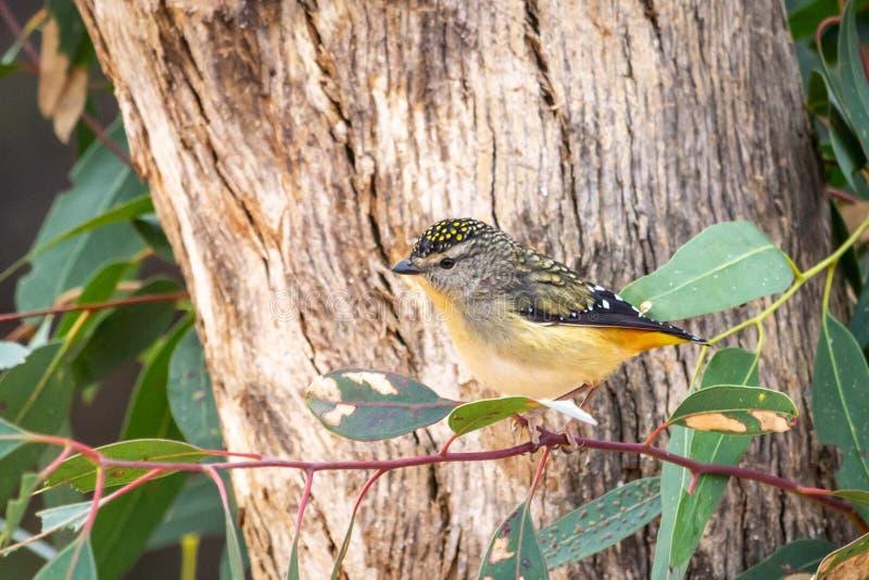 Ritratto di un foraggiamento macchiato di Pardalote, Werribee, Victoria, Australia, agosto 2019 fotografia stock