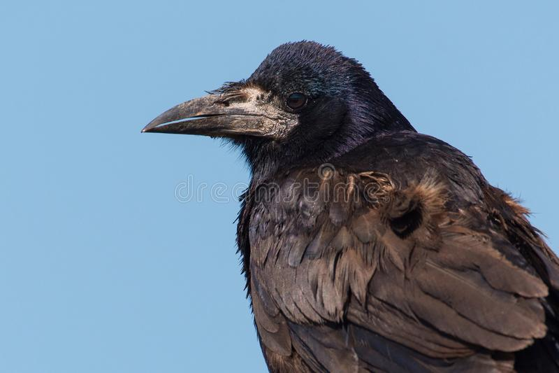 Ritratto di un frugilegus di corvo del corvo Fine in su fotografia stock