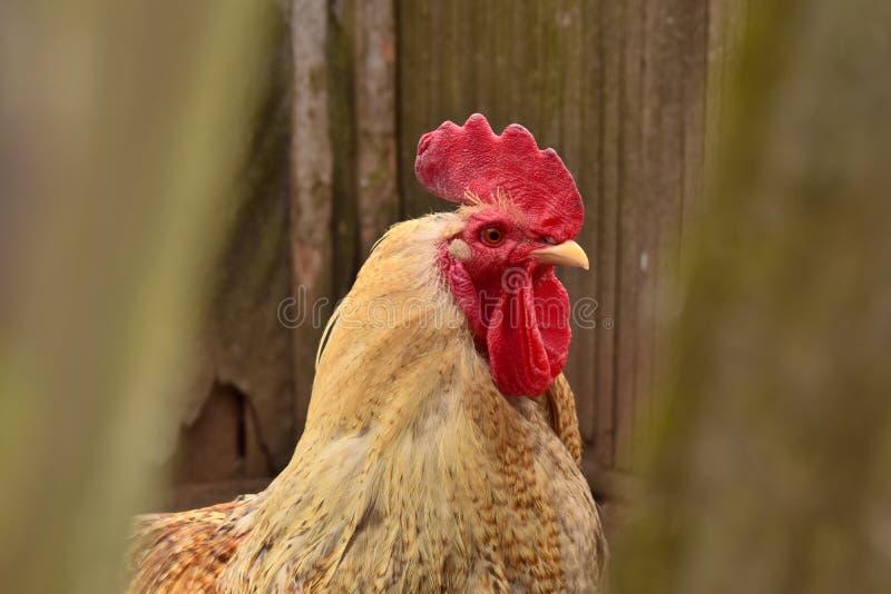Ritratto di un gallo nel villaggio immagini stock libere da diritti