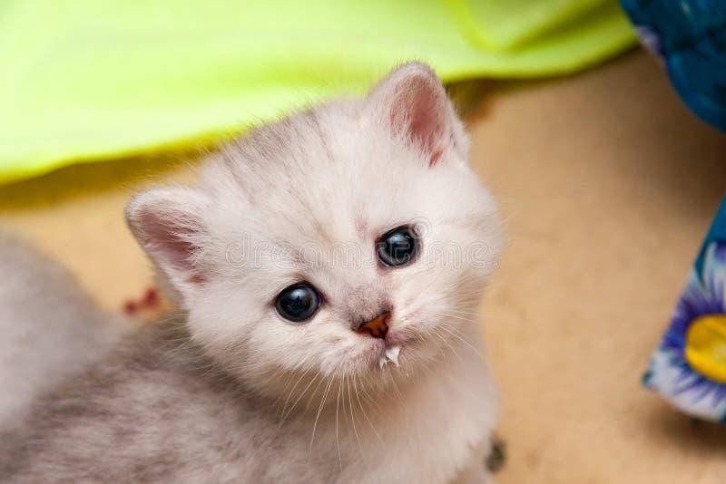 Ritratto di un gattino britannico argenteo sveglio con una museruola latte-macchiata fotografia stock
