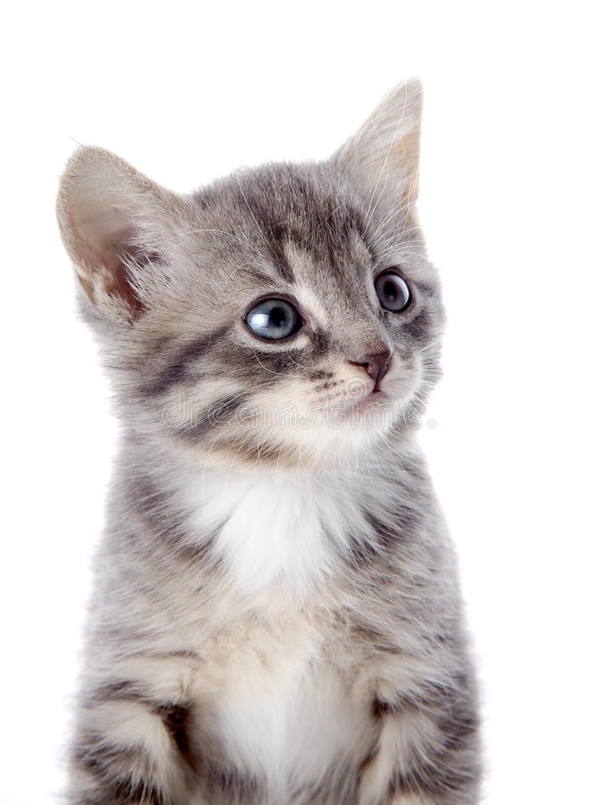 Ritratto di un gattino a strisce grigio con gli occhi azzurri. immagine stock libera da diritti