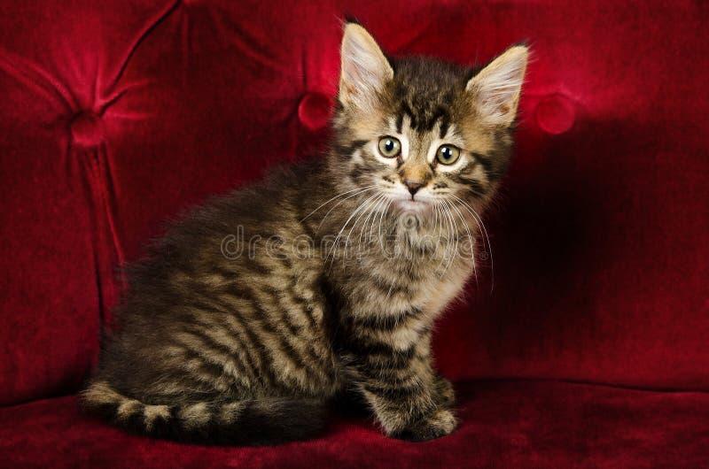 Ritratto di un gattino sveglio del soriano fotografie stock