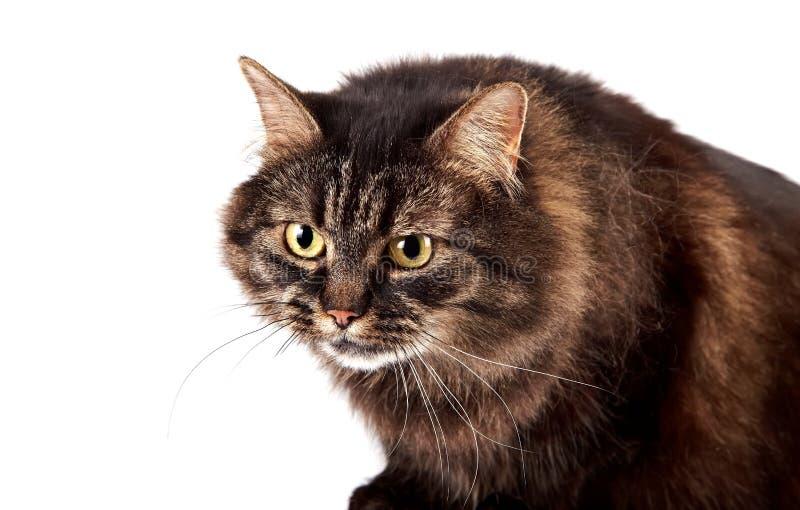 Ritratto di un gatto arrabbiato lanuginoso fotografia stock