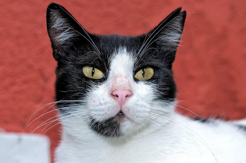 Ritratto di un gatto in bianco e nero fotografie stock libere da diritti