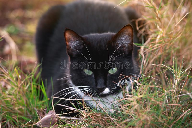 Ritratto di un gatto in bianco e nero con gli occhi verdi e di una gala bianca che si siede nel giardino di estate immagini stock