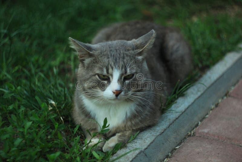 Ritratto di un gatto bianco grigio che si trova sull'erba verde immagine stock libera da diritti