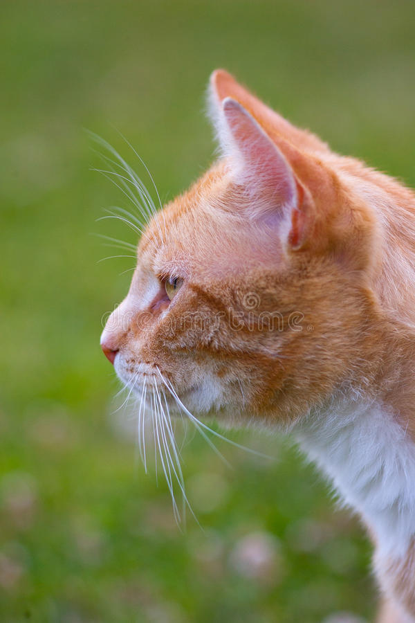 Ritratto di un gatto dello zenzero fotografie stock libere da diritti