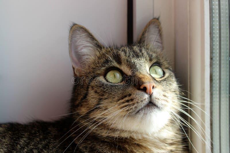 Ritratto di un gatto, fine su Animali domestici, animali giorno, concetto degli animali Gatto di Tabby che esamina la macchina fo fotografie stock libere da diritti