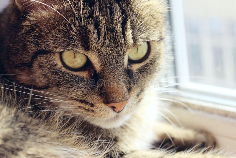 Ritratto di un gatto, fine su Animali domestici, animali giorno, concetto degli animali Gatto di Tabby che esamina la macchina fo fotografie stock