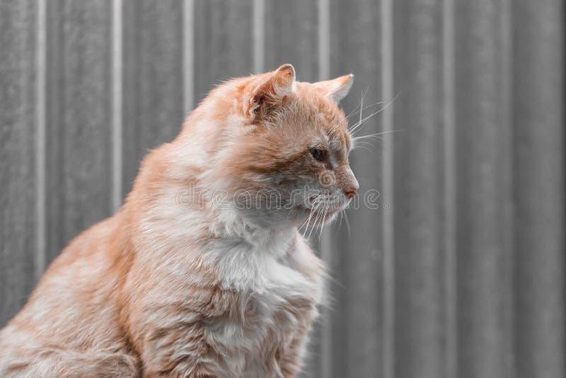 Ritratto di un gatto giallo pallido su un fondo grigio Fine in su Copi lo spazio immagini stock