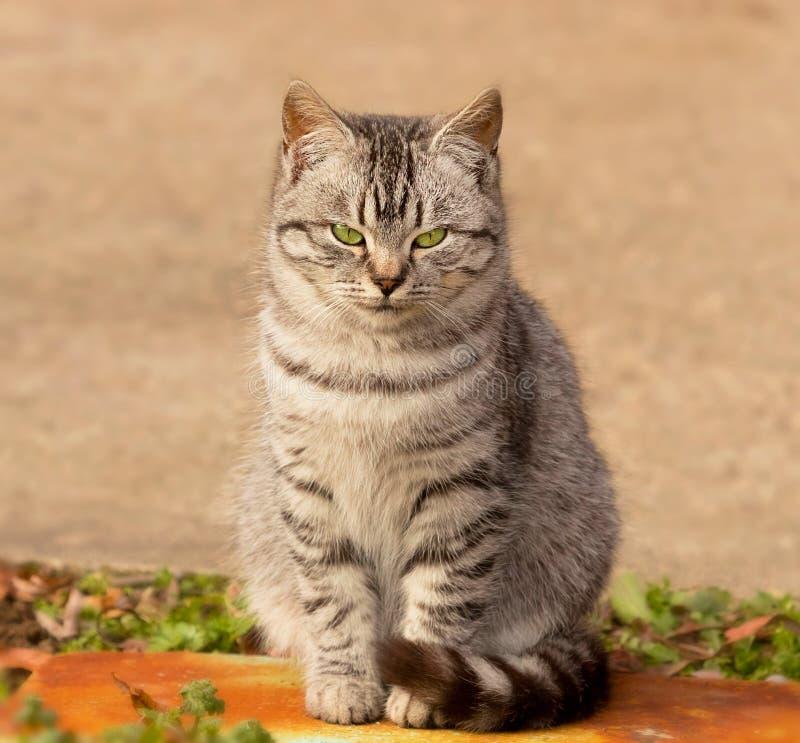 Ritratto di un gatto grigio con gli occhi verdi Fine del gatto degli occhi verdi su fotografia stock