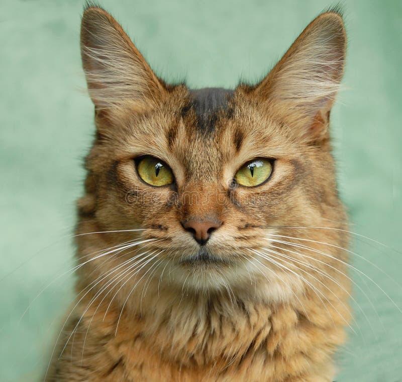 Ritratto di un gatto somalo usuale fotografia stock libera da diritti