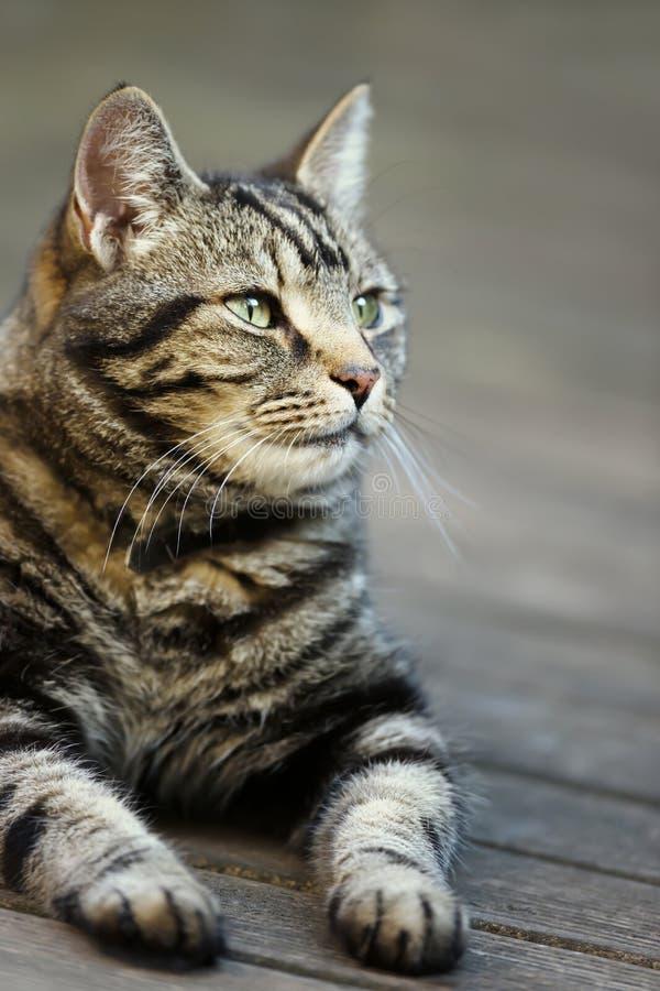 Ritratto di un gatto di soriano che si trova nel giardino fotografia stock