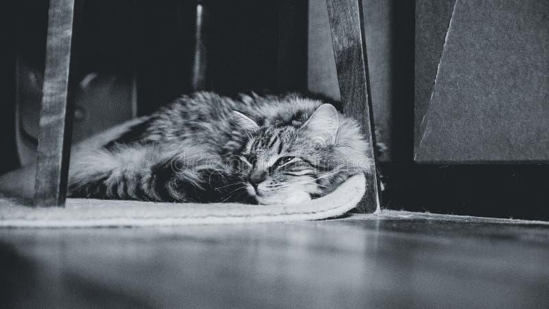 Ritratto di un gatto di soriano che si trova su un tappeto fotografie stock libere da diritti