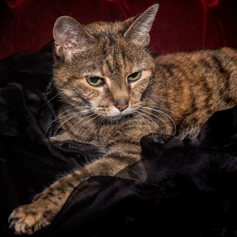 Ritratto di un gatto di soriano sveglio con gli occhi sonnolenti fotografia stock