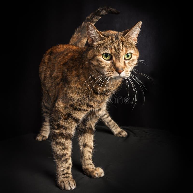 Ritratto di un gatto di soriano sveglio, esile ed alto fotografia stock