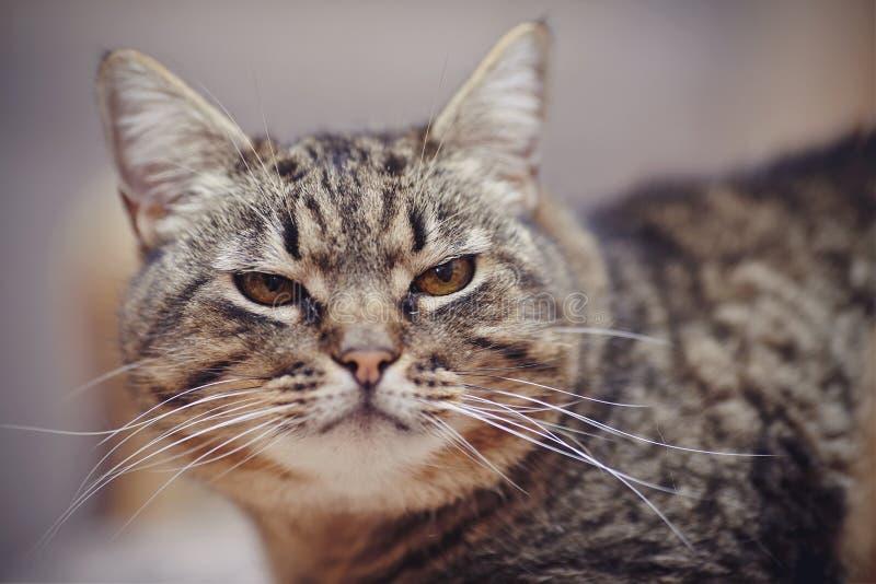 Ritratto di un gatto a strisce arrabbiato fotografia stock