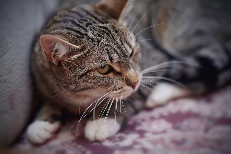 Ritratto di un gatto a strisce arrabbiato immagine stock libera da diritti