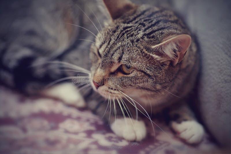 Ritratto di un gatto a strisce arrabbiato fotografia stock libera da diritti