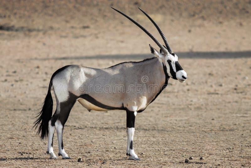 Ritratto di un Gemsbok maschio adulto, Gazella dell'orice immagine stock
