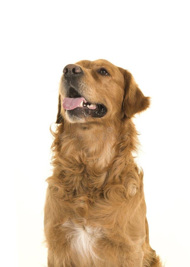 Ritratto di un golden retriever che cerca con lingua fuori sopra fotografia stock libera da diritti