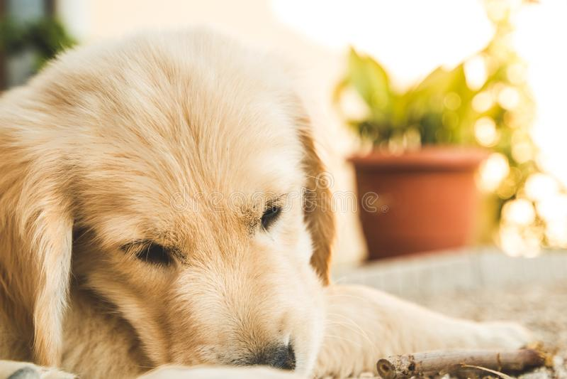 Ritratto di un golden retriever del cucciolo Immagine di un cane marrone adorabile fotografia stock libera da diritti